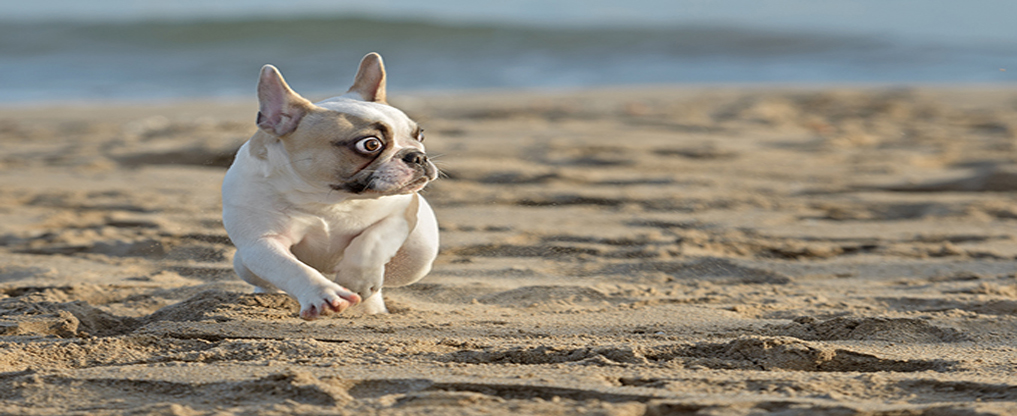 Female french bulldog puppy playing at the beach