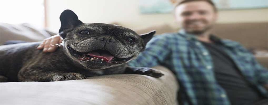 tips-to-choose-french-bulldog-pups